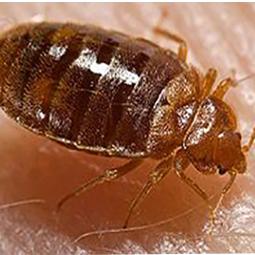 Bedbugs_Pest_Control_Service_San_Antonio