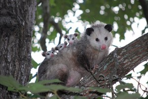 Affordable Wildlife Removal Houston Tx